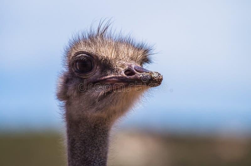 Afrikanisches Straußporträt morgens lizenzfreie stockfotografie