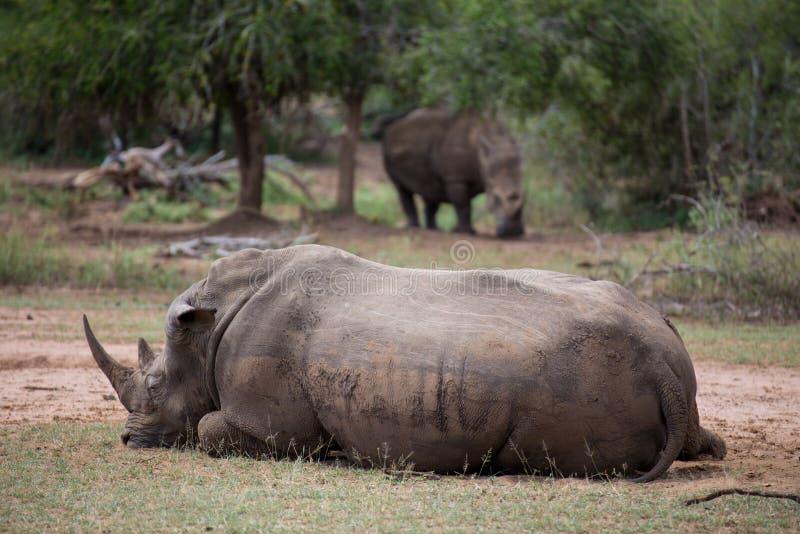 Afrikanisches weißes Nashorn lizenzfreie stockfotografie