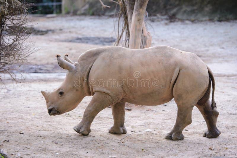 Afrikanisches weißes Nashorn des Babys lizenzfreies stockbild