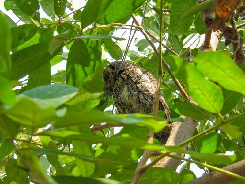 AfrikanScops uggla ( Otus senegalensis) i Kruger parkera royaltyfria bilder