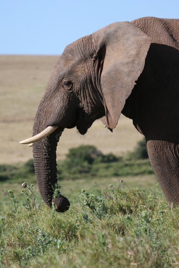afrikansk äta elefantmanlig royaltyfria foton