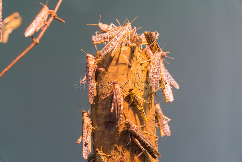 afrikansk ökengräshoppa royaltyfri bild