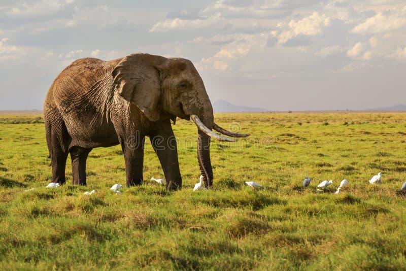 Afrikansk africana för savannelefantLoxodonta som går på gräs, arkivbild