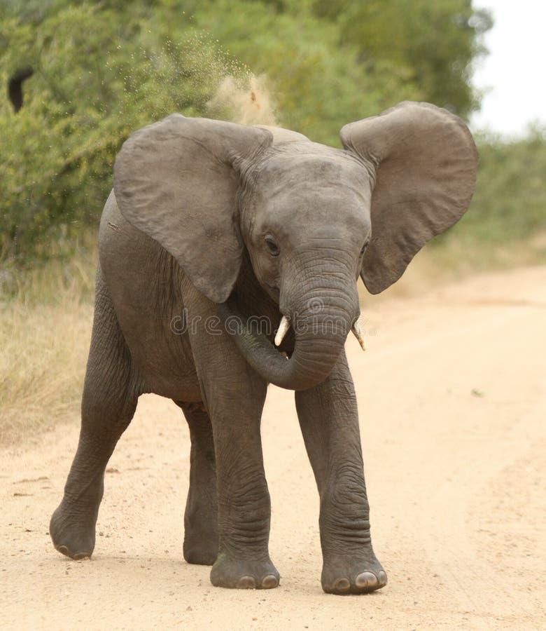 afrikansk africanaelefantloxodonta royaltyfri foto