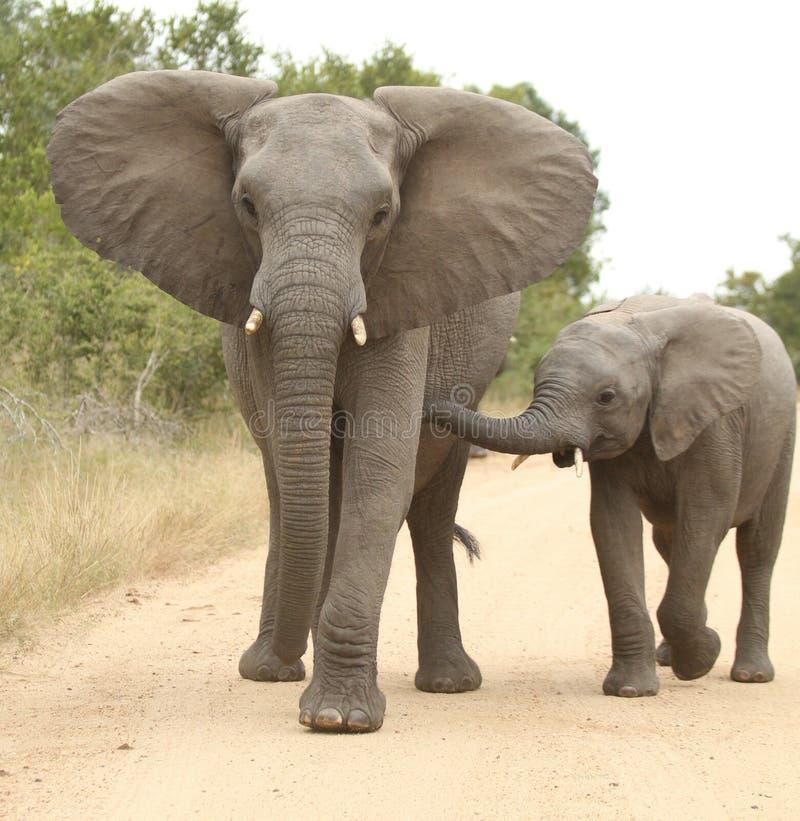 afrikansk africanaelefantloxodonta arkivfoto