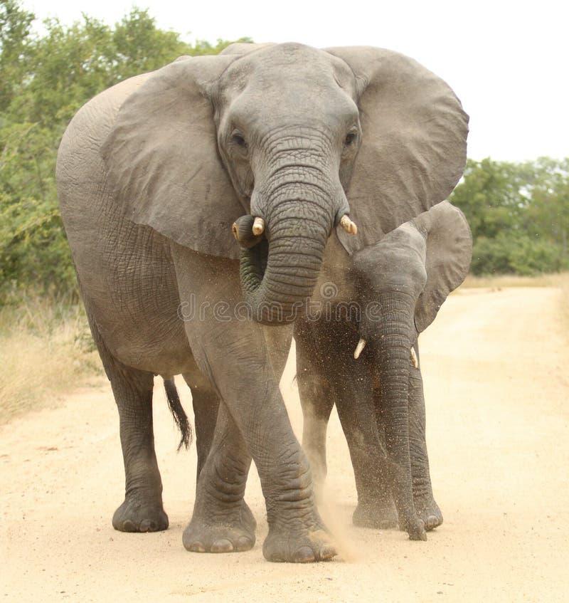 afrikansk africanaelefantloxodonta royaltyfria foton