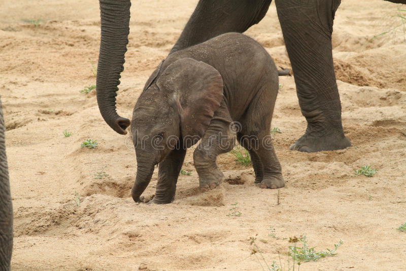 afrikansk africanaelefantloxodonta arkivbild