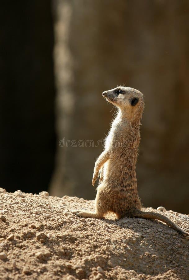 afrikansk alert plattform suricata royaltyfri fotografi