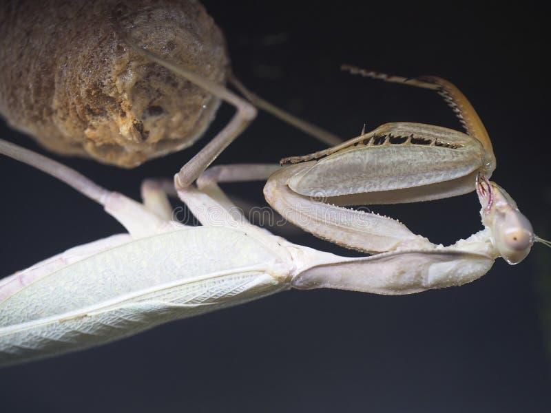 Afrikansk bönsyrsa eller Sphodromantis Lineola royaltyfria foton