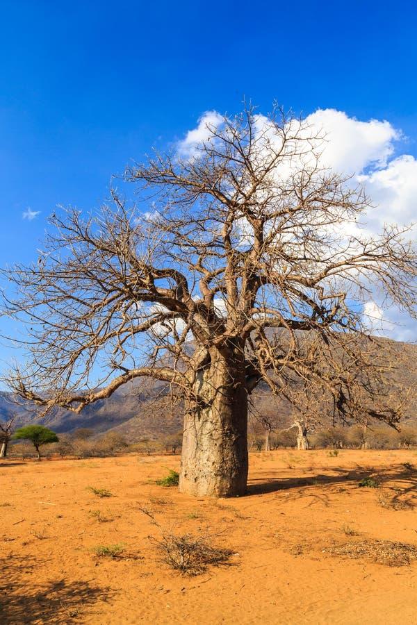 afrikansk baobabliggandetree royaltyfri foto