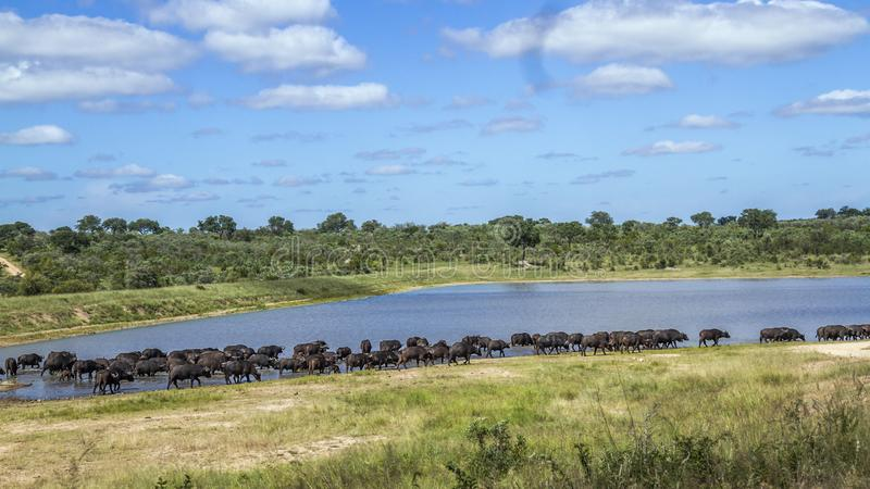 Afrikansk buffel i den Kruger nationalparken, Sydafrika royaltyfri foto