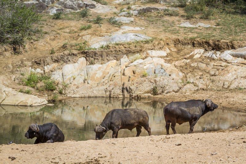 Afrikansk buffel i den Kruger nationalparken, Sydafrika royaltyfri fotografi