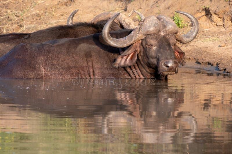 Afrikansk buffel som v?rma sig i vattnet i solen f?r sen eftermiddag som fotograferas p? den Kruger nationalparken i Sydafrika royaltyfria foton