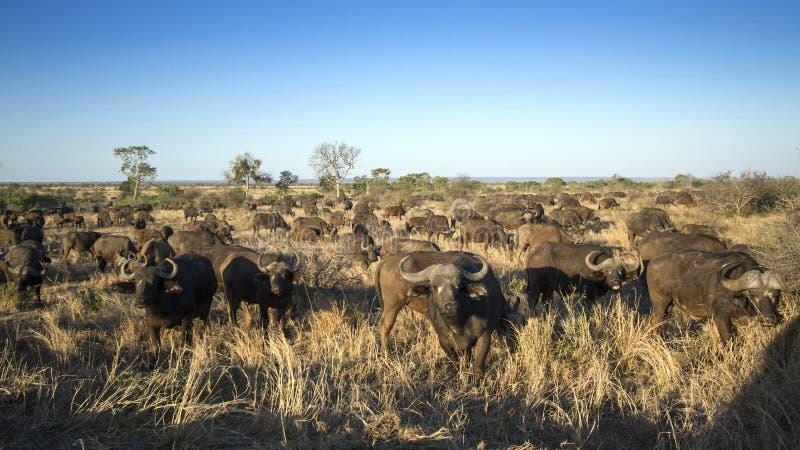 Afrikansk buffelflock i den Kruger nationalparken royaltyfria bilder