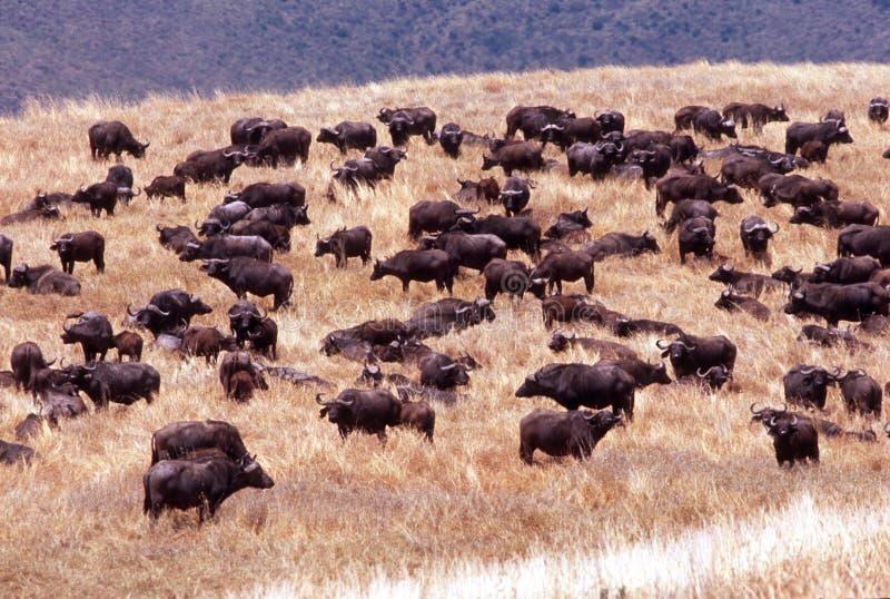afrikansk buffelkraterngorongoro tanzania royaltyfri bild