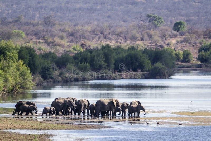 Afrikansk buskeelefant i den Kruger nationalparken royaltyfri bild
