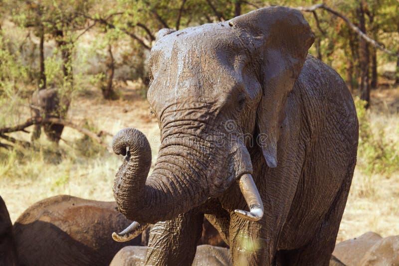 Afrikansk buskeelefant i den Kruger nationalparken royaltyfria bilder
