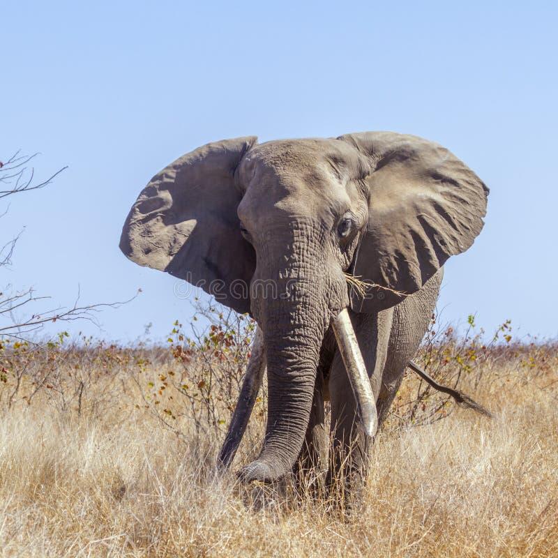 Afrikansk buskeelefant i den Kruger nationalparken, Sydafrika royaltyfri foto