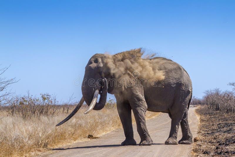 Afrikansk buskeelefant i den Kruger nationalparken, Sydafrika royaltyfria bilder