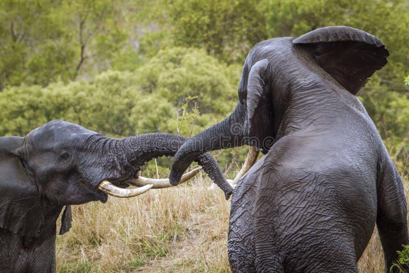Afrikansk buskeelefant i den Kruger nationalparken, Sydafrika arkivfoton