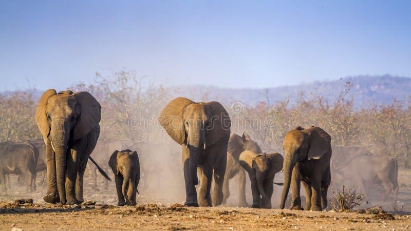 Afrikansk buskeelefant i den Kruger nationalparken, Sydafrika arkivbild