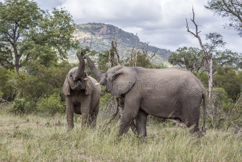 Afrikansk buskeelefant i den Kruger nationalparken, Sydafrika royaltyfri fotografi