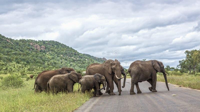 Afrikansk buskeelefant i den Kruger nationalparken, Sydafrika fotografering för bildbyråer
