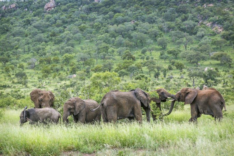 Afrikansk buskeelefant i den Kruger nationalparken, Sydafrika arkivfoto