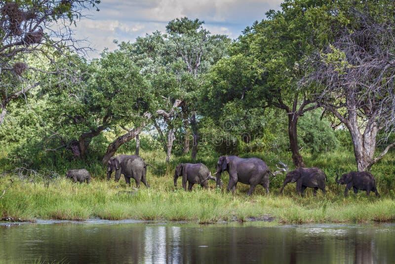 Afrikansk buskeelefant i den Mapungubwe nationalparken, Sydafrika arkivbilder