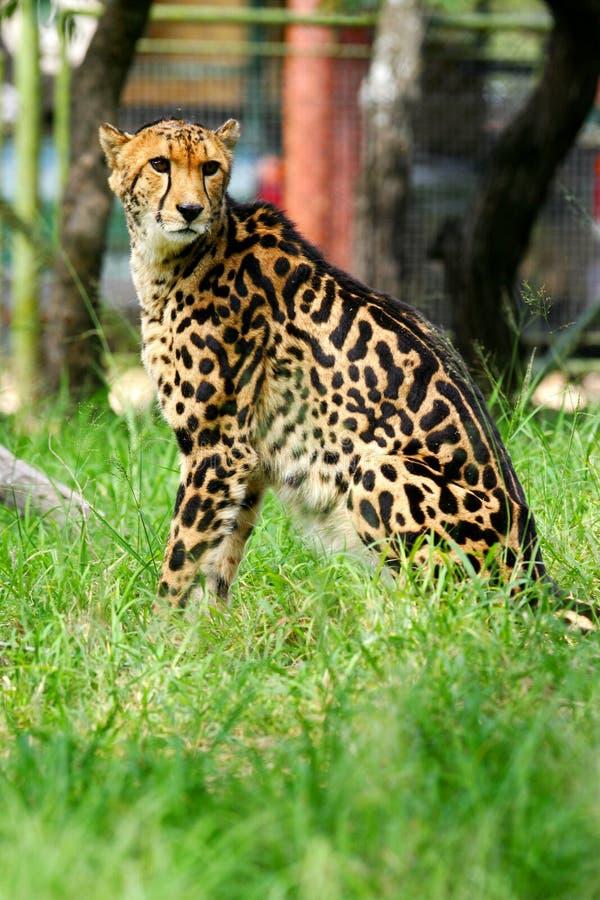 afrikansk cheetah royaltyfri foto
