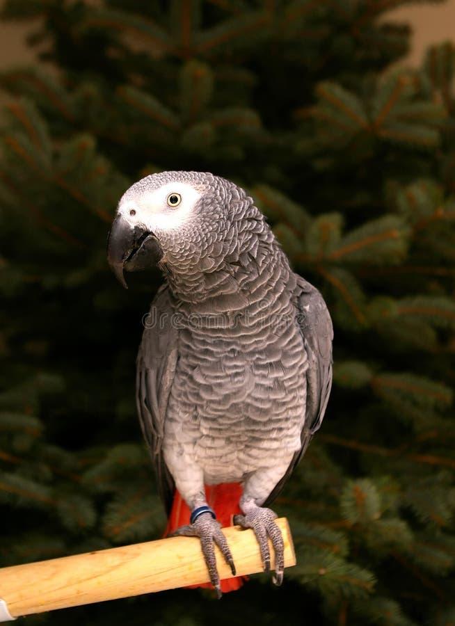 afrikansk congo grå papegoja royaltyfri fotografi