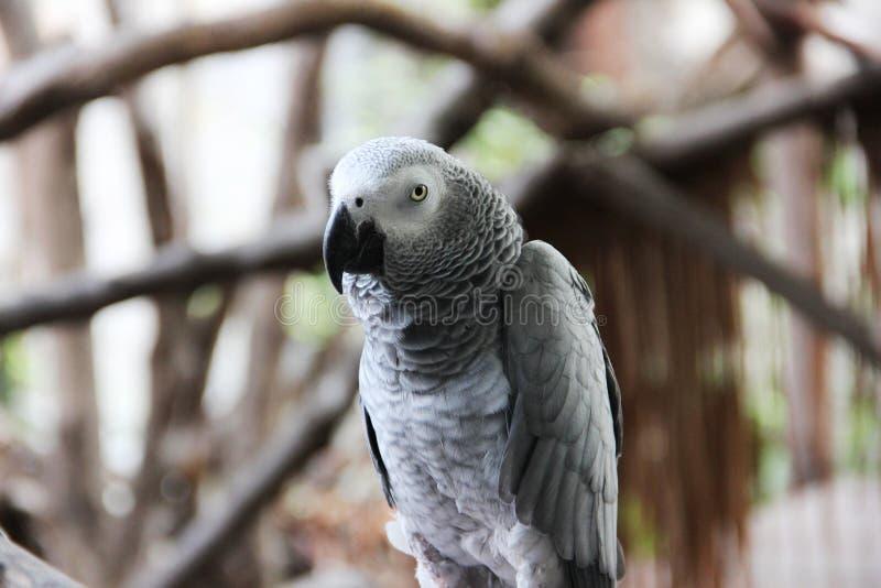 afrikansk congo grå papegoja arkivfoton