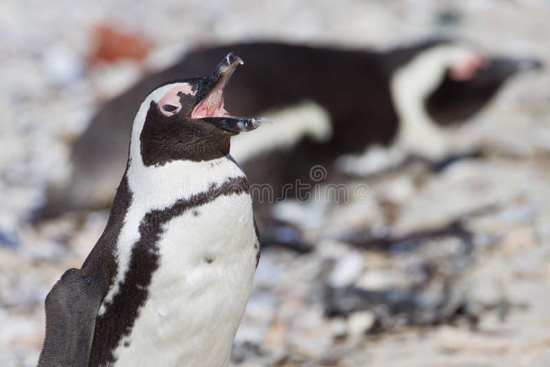 afrikansk demersuspingvinspheniscus fotografering för bildbyråer