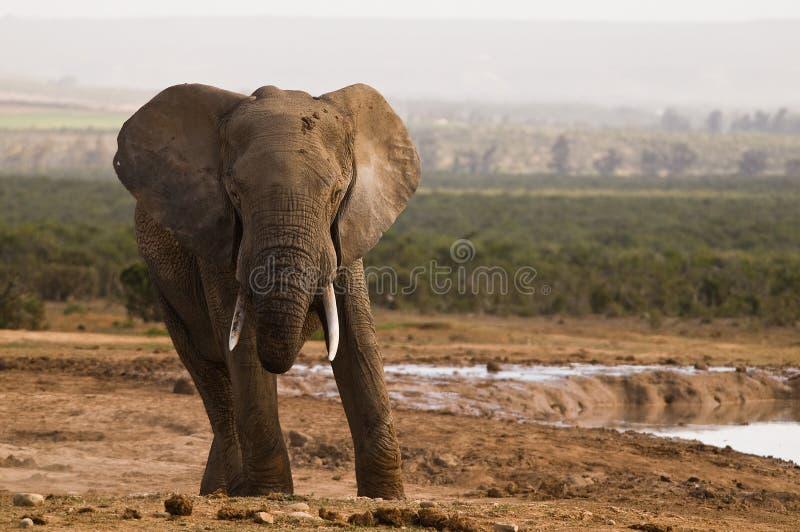 afrikansk elefant royaltyfri foto