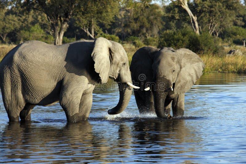 Afrikansk elefant - Botswana royaltyfria bilder