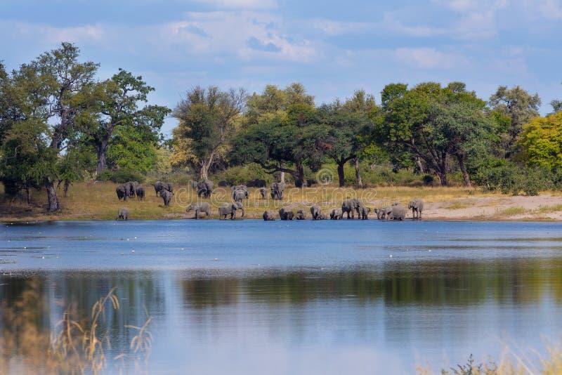 Afrikansk elefant, Bwabwata Namibia, Afrika safaridjurliv arkivbilder