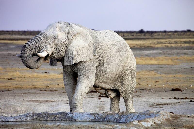 Afrikansk elefant från smutsig vit lera på waterhole, Etosha nationalpark, Namibia fotografering för bildbyråer