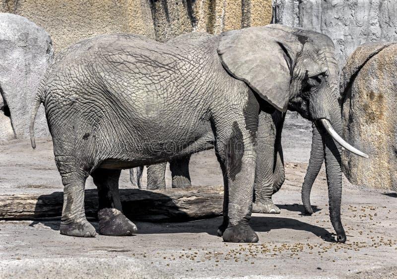 Afrikansk elefant 14 fotografering för bildbyråer