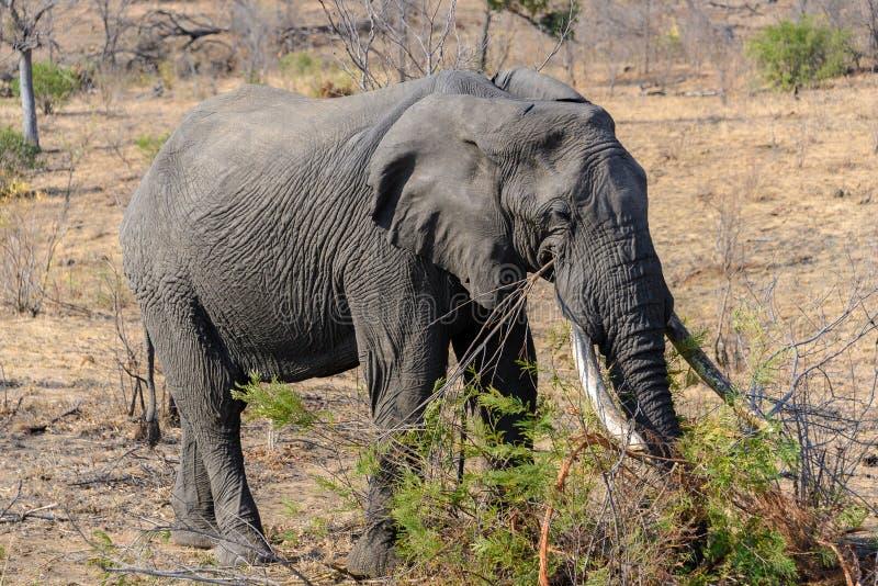Afrikansk elefant i den Kruger nationalparken, Sydafrika arkivbild