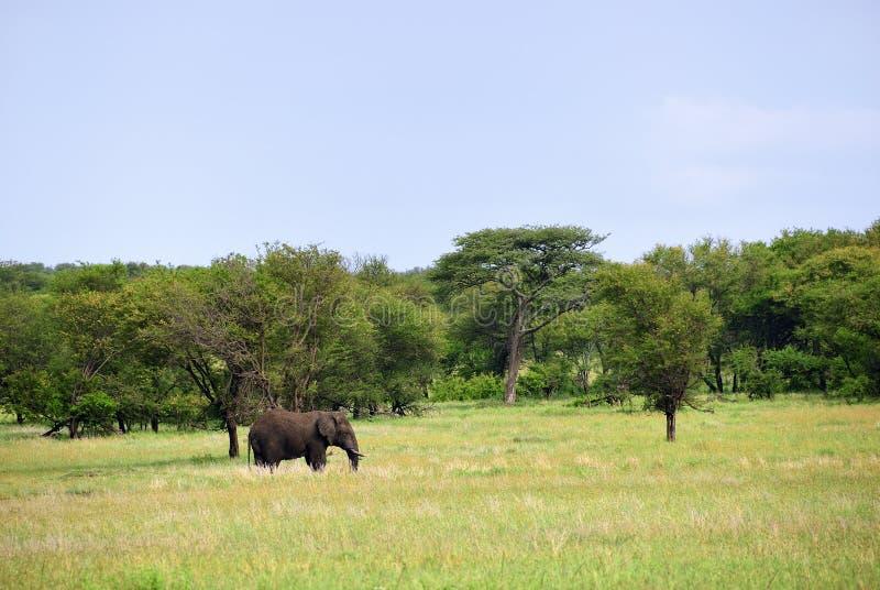 Afrikansk elefant i den Serengeti nationalparken Tanzania royaltyfria foton