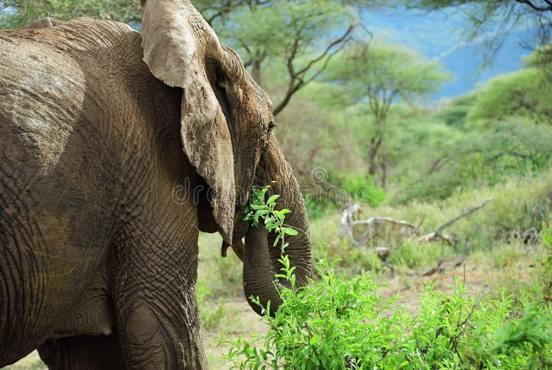 Afrikansk elefant i den sjöManyara nationalparken Tanzania arkivfoto