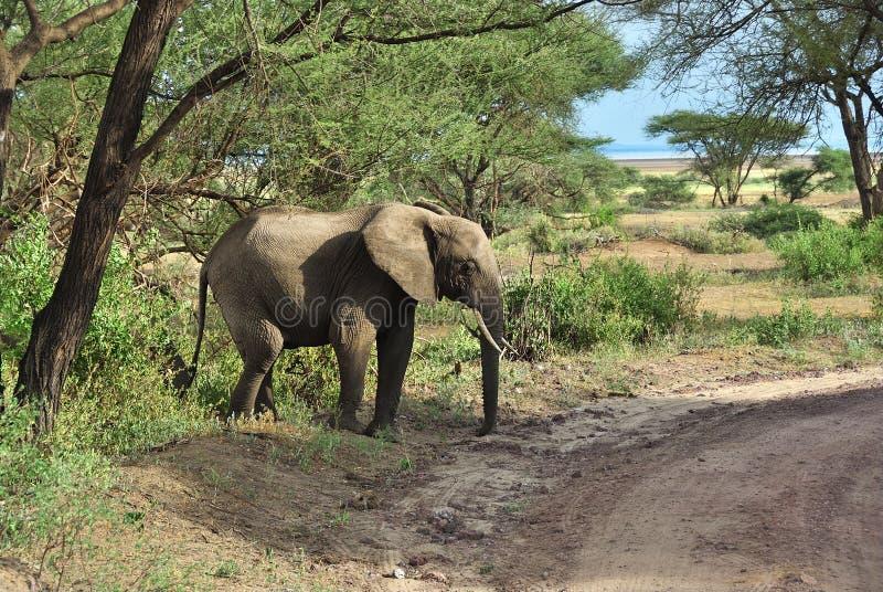 Afrikansk elefant i den sjöManyara nationalparken Tanzania arkivbilder