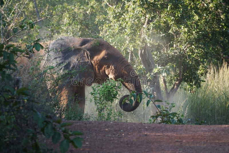 Afrikansk elefant i vågbrytarenationalparken, Ghana royaltyfri bild