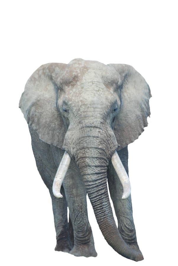afrikansk elefant isolerad white arkivbilder