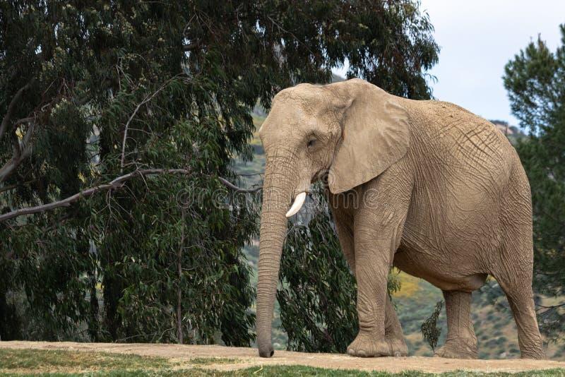 Afrikansk elefant, kvinnlig som går, träd i bakgrund, stora öron, lugna fridsamt kraftigt djur arkivfoton