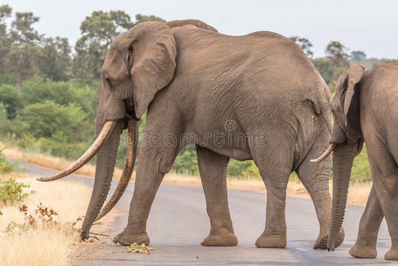 Afrikansk elefant med stora beten som korsar en väg fotografering för bildbyråer
