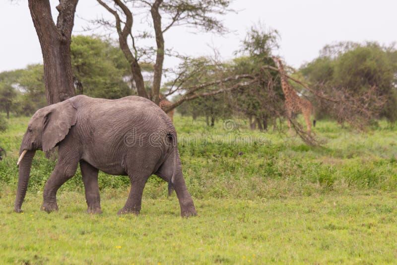 Afrikansk elefant och en giraff i Serengetien arkivfoton