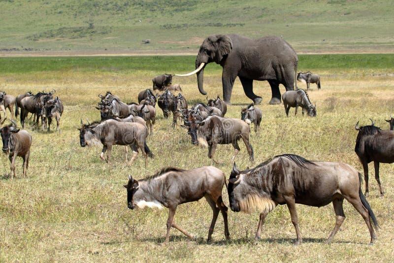 Afrikansk elefant och flock av gnu royaltyfri bild
