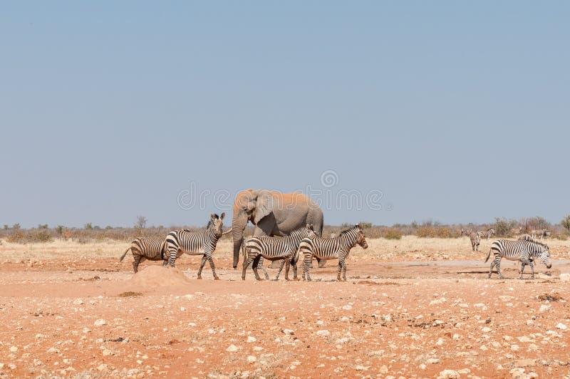 Afrikansk elefant och leriga Hartmann Mountain Zebras arkivbilder