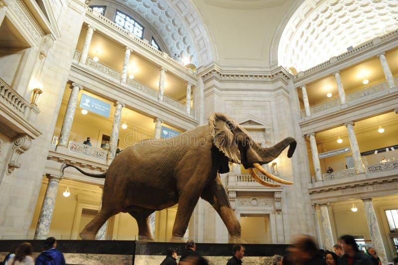 Afrikansk elefant på det nationella museet av naturhistoria arkivfoton